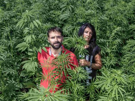 glaucoma e cannabis