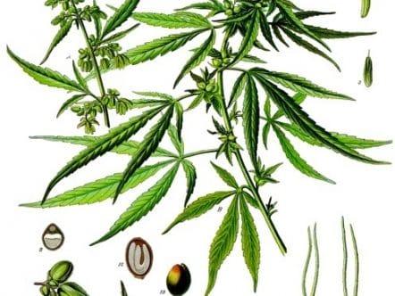 botanica cannabis